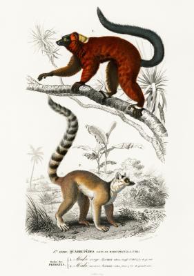 Plakat Lemury w środowisku naturalnym