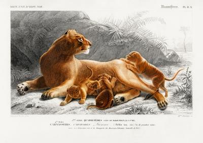 Plakat Lwica z młodymi