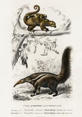 Plakat Mrówkojadek jedwabisty