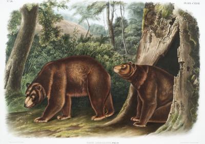 Plakat Niedźwiedzie cynamonowe w lesie