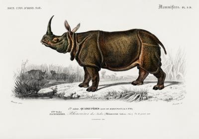 Plakat Nosorożec indyjski