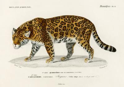 Plakat Przyczajony jaguar