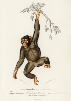 Plakat Szympans na gałęzi