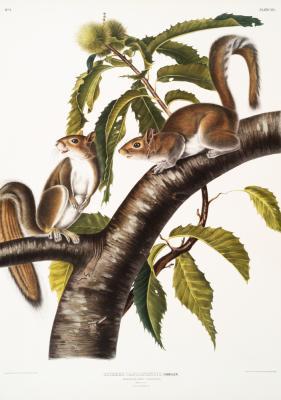 Plakat Wiewiórki szare