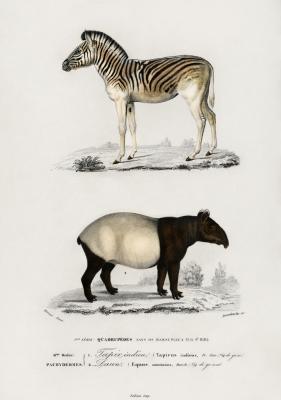 Plakat Zebra górska i Tapir czaprakowy