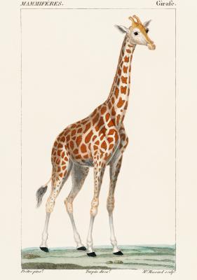 Plakat Żyrafa na trawie