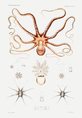Plakat Anatomia ośmiornicy
