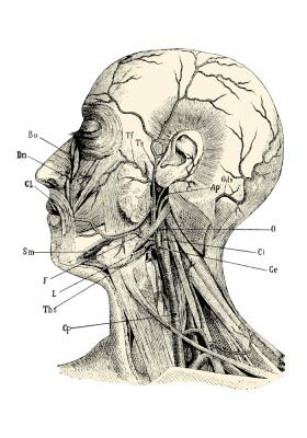 Plakat Budowa głowy człowieka