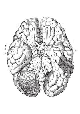 Plakat Budowa podstawy mózgu