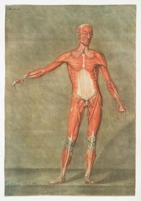 Plakat Mięśnie w ciele człowieka widok z przodu