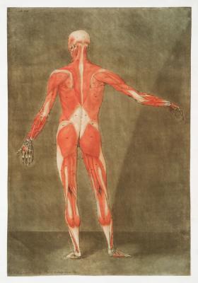Plakat Mięśnie w ciele człowieka widok z tyłu