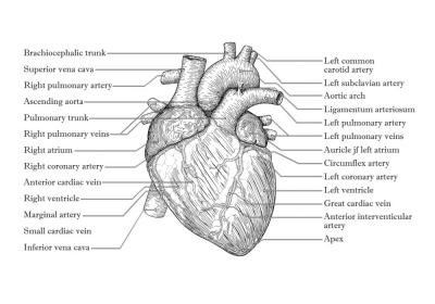Plakat Opis budowy serca