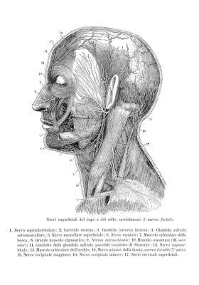 Plakat Poprzeczny przekrój ludzkiej głowy