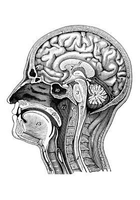 Plakat Przekrój ludzkiej głowy