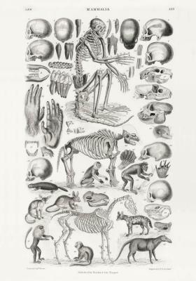 Plakat Ssaki i szkielety