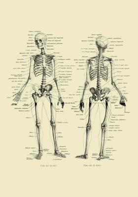 Plakat Szkielet ludzki przodem i tyłem