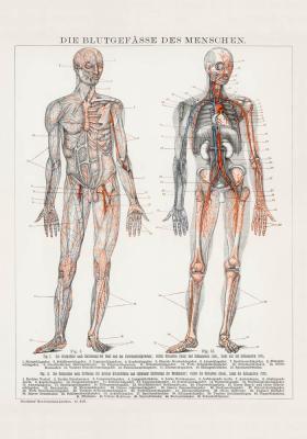 Plakat Układ krwionośny człowieka