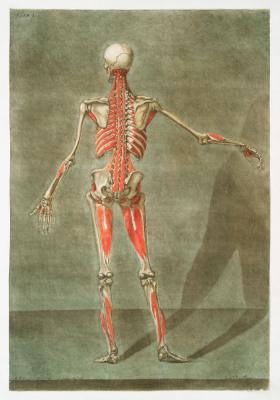 Plakat Układ mieśniowo-szkieletowy od tyłu