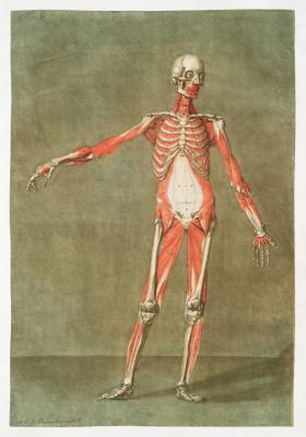 Plakat Układ mieśniowo-szkieletowy