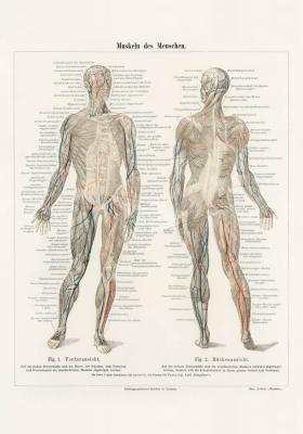 Plakat Układ mięśniowy człowieka