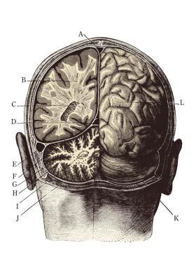 Plakat Widok mózgu od tyłu