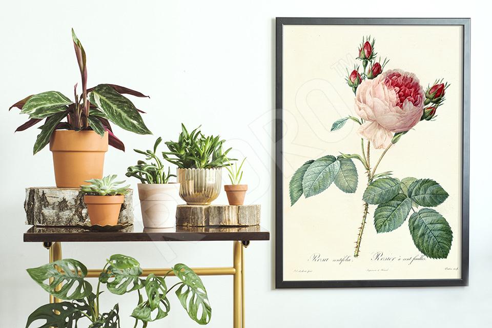 Plakat botaniczny z różą