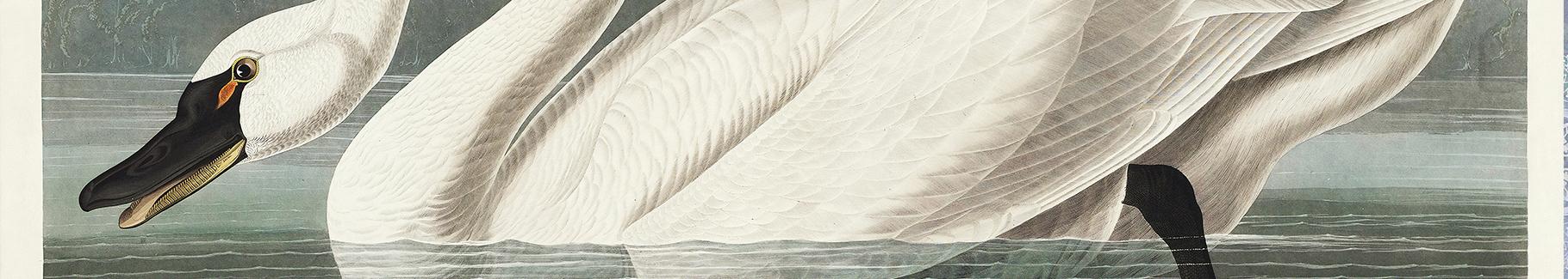 Fototapeta biały łabędź niemy