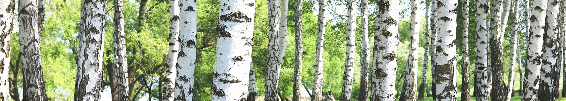 Fototapeta zielony las brzozowy