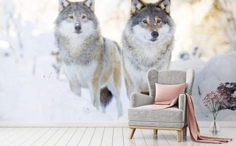 Fototapeta dwa wilki