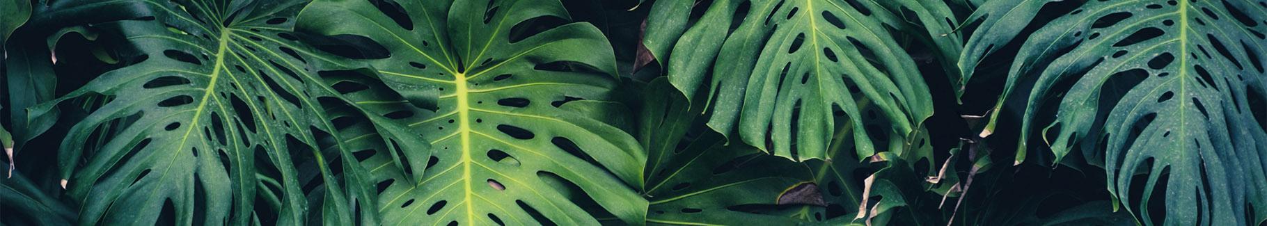 Fototapeta dżungla - liście monstery