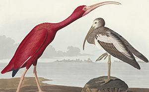 Ibis szkarłatny Eudocimus ruber