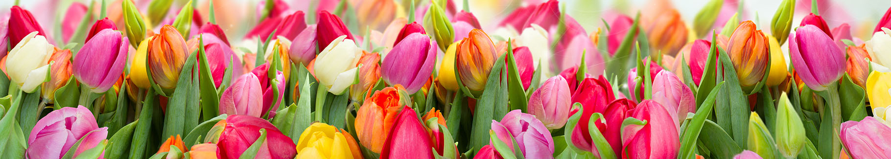 Kolorowa fototapeta tulipany