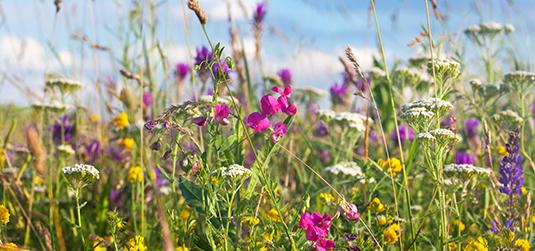 Kwiat łąki