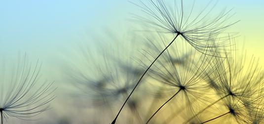 Nasiona dmuchawca