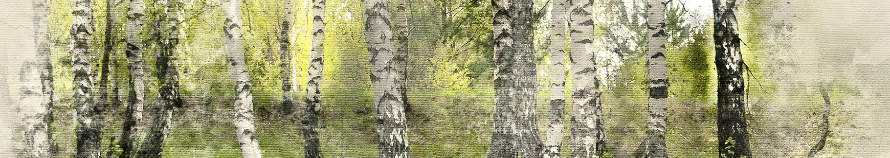 Akwarelowy obraz z brzozami