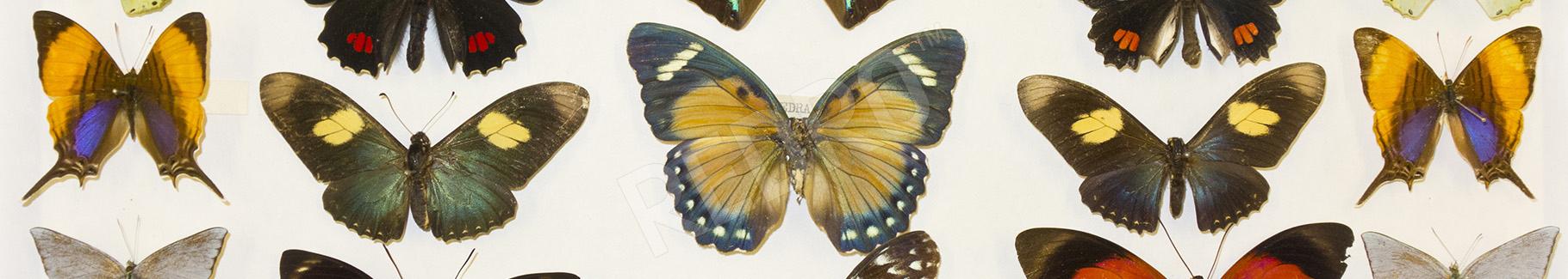 Obraz gatunki motyli