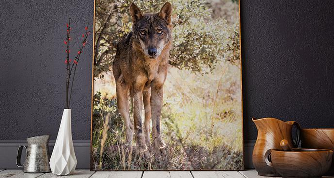 Obraz wilk iberyjski