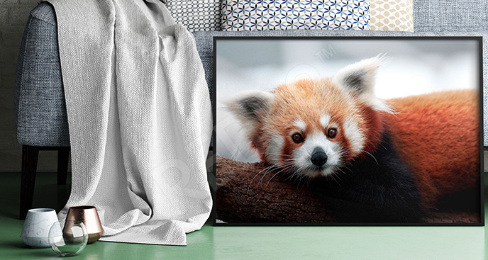 Plakat panda czerwona