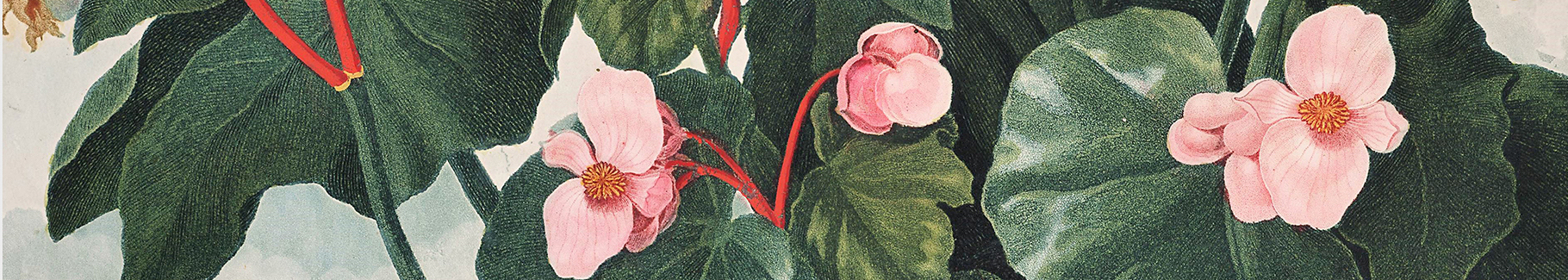 Retro plakat z begoniami